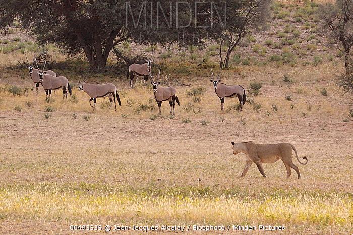 African Lion (Panthera leo) female passing South African Gemsbok (Oryx gazella gazella), Kgalagadi Transfrontier Park, South Africa  -  Jean-Jacques Alcalay/ Biosphoto