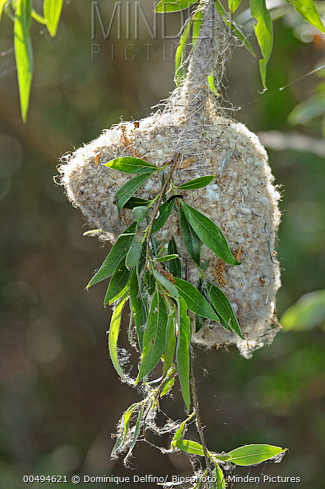 Eurasian Penduline-Tit (Remiz pendulinus) nest on willow, Danube Delta, Romania  -  Dominique Delfino/ Biosphoto