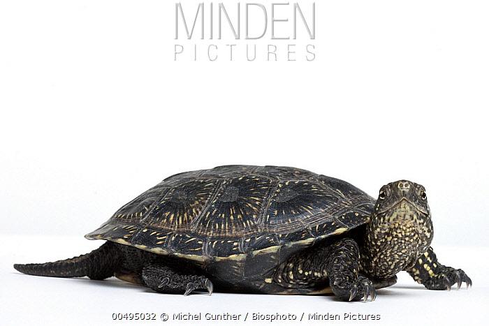 European Pond Turtle (Emys orbicularis), France  -  Michel Gunther/ Biosphoto