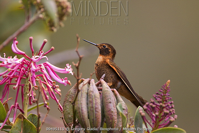 Shining Sunbeam (Aglaeactis cupripennis) hummingbird, Andes, Peru  -  Gregory Guida/ Biosphoto
