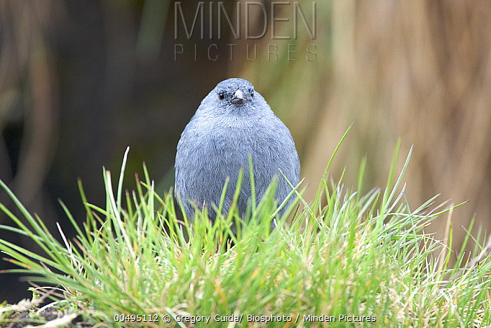 Plumbeous Sierra-Finch (Phrygilus unicolor) on grass, Andes, Peru  -  Gregory Guida/ Biosphoto