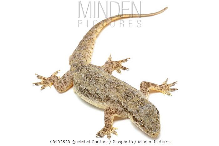 Bridled House Gecko (Hemidactylus frenatus), Paris, France  -  Michel Gunther/ Biosphoto