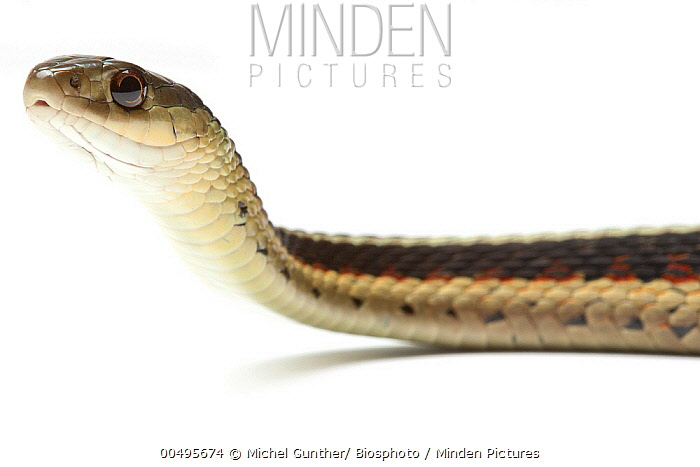 Red-sided Garter Snake (Thamnophis sirtalis parietalis), Paris, France  -  Michel Gunther/ Biosphoto