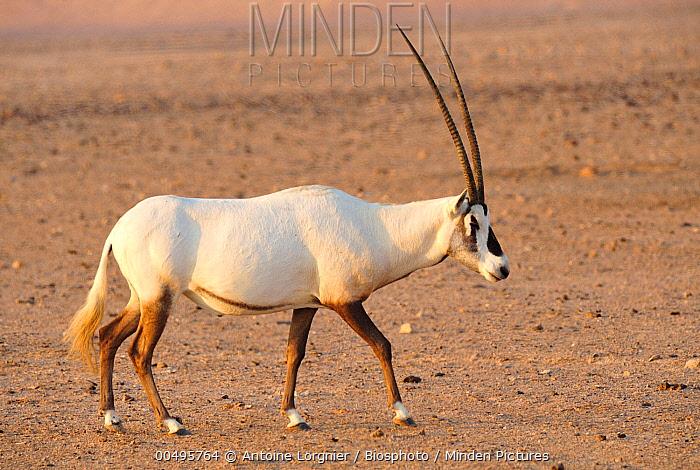 Arabian Oryx (Oryx leucoryx), Sir Bani Yas, Abu Dhabi, United Arab Emirates  -  Antoine Lorgnier/ Biosphoto