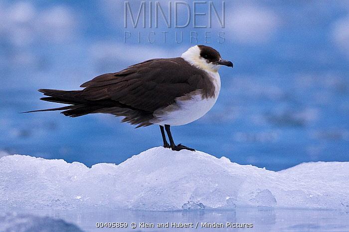Long-tailed Jaeger (Stercorarius longicaudus) on ice, Svalbard, Norway  -  Klein and Hubert