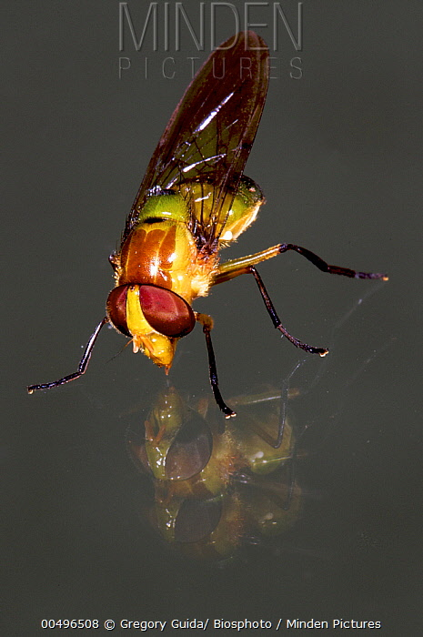 Hoverfly (Syrphidae) on glass, Andes, Peru  -  Gregory Guida/ Biosphoto