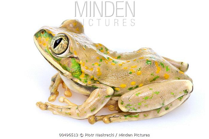 Yellow-spotted Tree Frog (Leptopelis flavomaculatus), Gorongosa National Park, Mozambique  -  Piotr Naskrecki