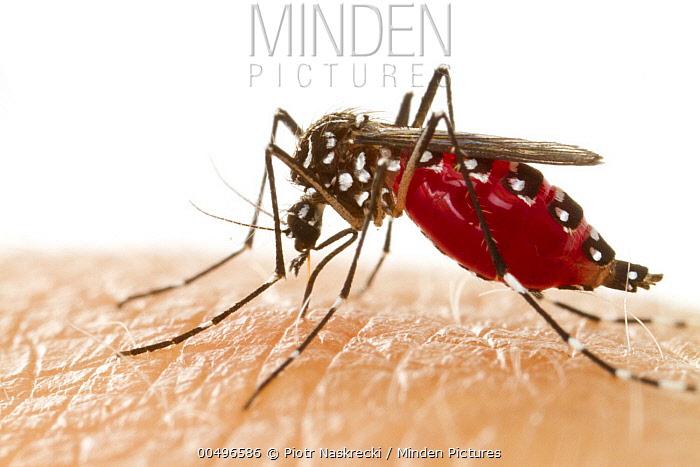 Yellow Fever Mosquito (Aedes aegypti) female feeding on human blood, Gorongosa National Park, Mozambique  -  Piotr Naskrecki