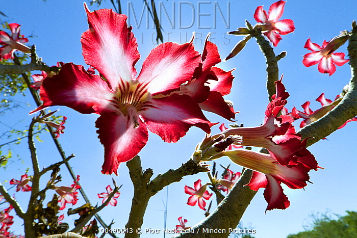 Impala Lily (Adenium multiflorum) flowering, Gorongosa National Park, Mozambique  -  Piotr Naskrecki
