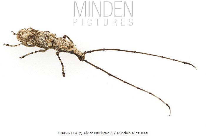 Longhorn Beetle (Cerambycidae), Gorongosa National Park, Mozambique  -  Piotr Naskrecki