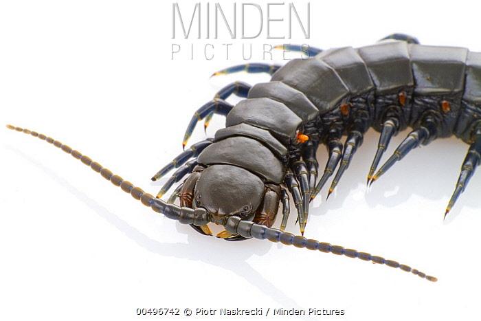 Centipede, Gorongosa National Park, Mozambique  -  Piotr Naskrecki