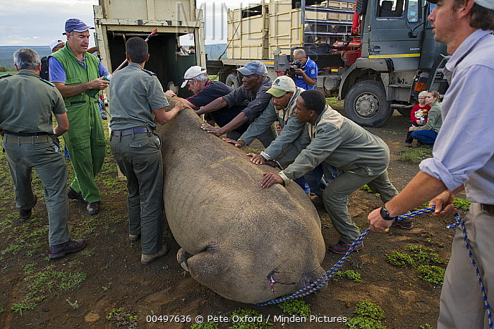 Black Rhinoceros (Diceros bicornis) being loaded into crate for relocation to new reserve, Great Fish River Nature Reserve, Eastern Cape, South Africa  -  Pete Oxford