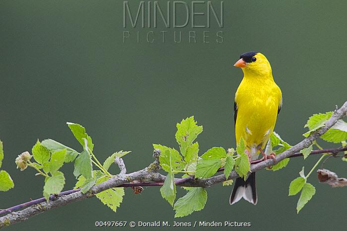 American Goldfinch (Carduelis tristis) male, La Crosse, Wisconsin  -  Donald M. Jones