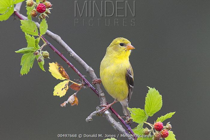 American Goldfinch (Carduelis tristis) female amid brambles, La Crosse, Wisconsin  -  Donald M. Jones