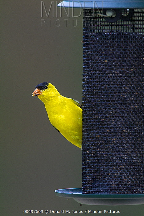 American Goldfinch (Carduelis tristis) male at feeder, La Crosse, Wisconsin  -  Donald M. Jones