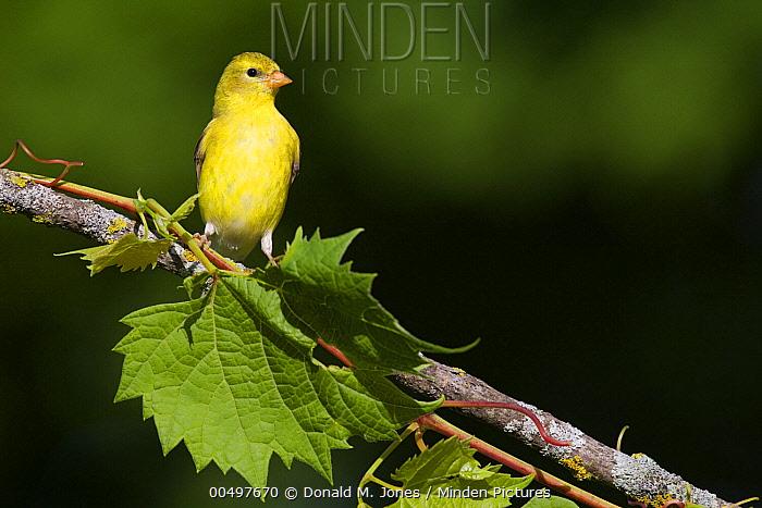 American Goldfinch (Carduelis tristis) female, La Crosse, Wisconsin  -  Donald M. Jones