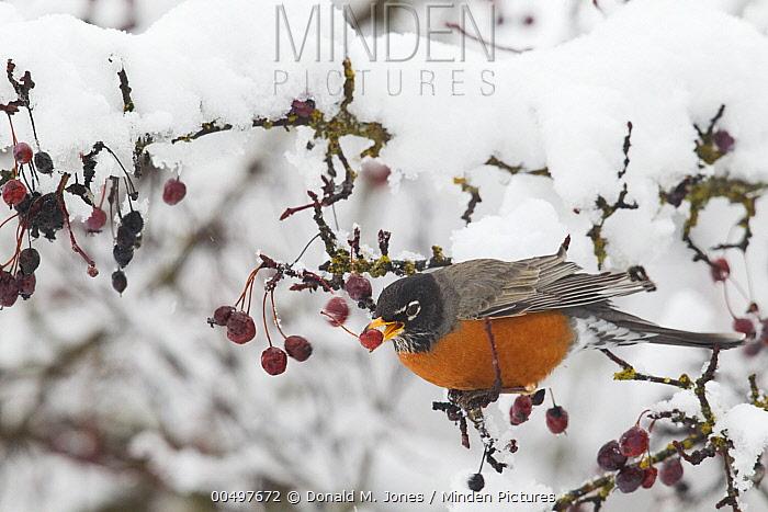American Robin (Turdus migratorius) feeding on berries in winter, Troy, Montana  -  Donald M. Jones