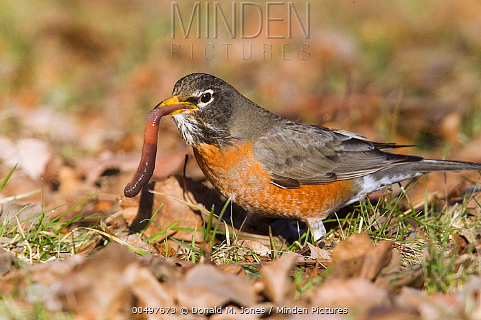 American Robin (Turdus migratorius) eating worm, Troy, Montana  -  Donald M. Jones