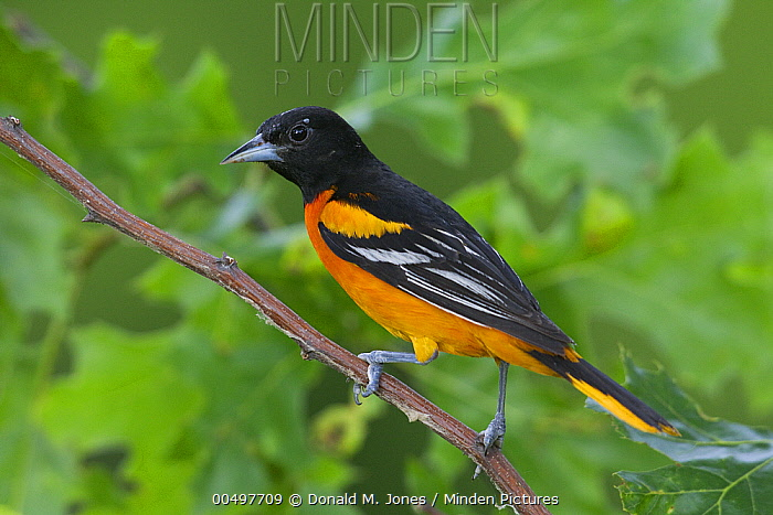 Baltimore Oriole (Icterus galbula) male, La Crosse, Wisconsin  -  Donald M. Jones