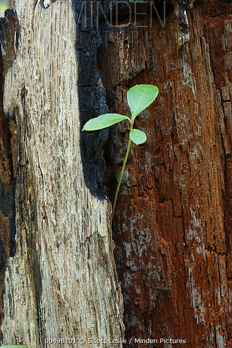 Plant emerging from burnt tree stump after forest fire, Canada  -  Scott Leslie