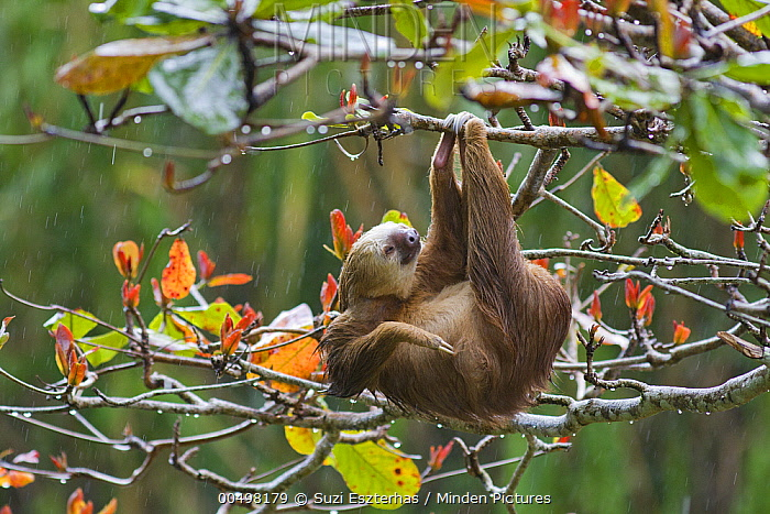 Hoffmann's Two-toed Sloth (Choloepus hoffmanni) hanging in tree, Aviarios Sloth Sanctuary, Costa Rica  -  Suzi Eszterhas