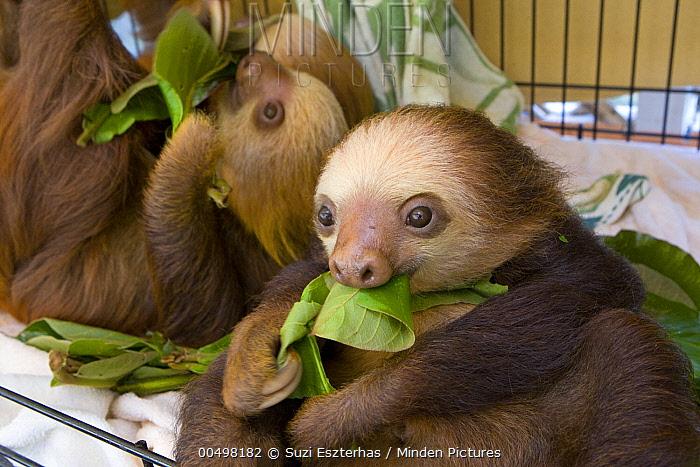 Hoffmann's Two-toed Sloth (Choloepus hoffmanni) juveniles eating leaves, Aviarios Sloth Sanctuary, Costa Rica  -  Suzi Eszterhas