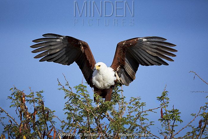 African Fish Eagle (Haliaeetus vocifer) landing, Kruger National Park, South Africa  -  Richard Du Toit