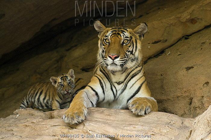 Bengal Tiger (Panthera tigris tigris) mother and five week old cub at den, Bandhavgarh National Park, India  -  Suzi Eszterhas
