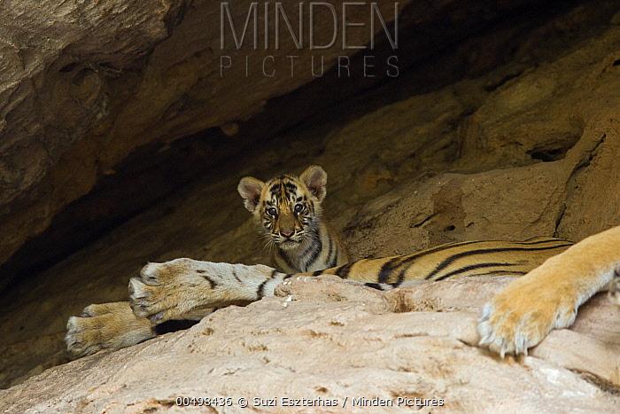 Bengal Tiger (Panthera tigris tigris) five week old cub on mother at den, Bandhavgarh National Park, India  -  Suzi Eszterhas