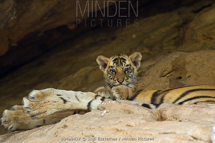 Bengal Tiger (Panthera tigris tigris) five week old cub on mother at den, Bandhavgarh National Park, India  -  Suzi Eszterhas