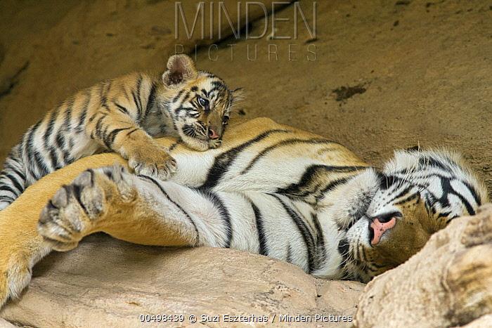 Bengal Tiger (Panthera tigris tigris) five week old cub resting on sleeping mother at den, Bandhavgarh National Park, India  -  Suzi Eszterhas