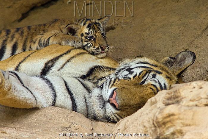 Bengal Tiger (Panthera tigris tigris) five week old cub on sleeping mother at den, Bandhavgarh National Park, India  -  Suzi Eszterhas