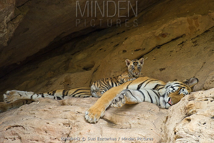 Bengal Tiger (Panthera tigris tigris) five week old cub on sleeping mother at den, Bandhavgarh National Park, India  -  Suzi Eszterhas