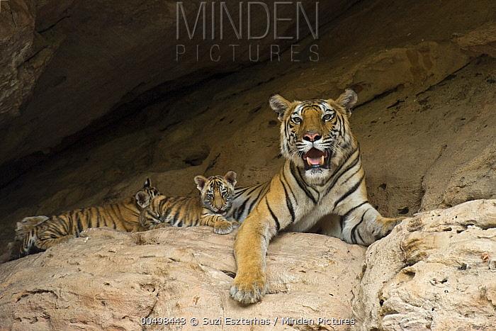 Bengal Tiger (Panthera tigris tigris) five week old cubs with mother at den, Bandhavgarh National Park, India  -  Suzi Eszterhas