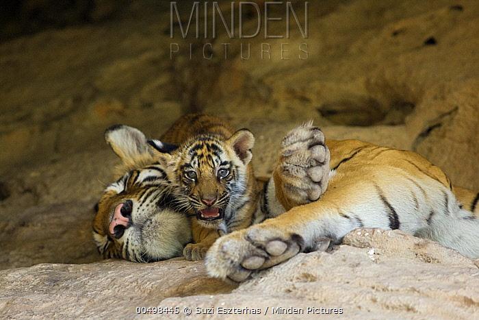 Bengal Tiger (Panthera tigris tigris) six week old cub on sleeping mother at den, Bandhavgarh National Park, India  -  Suzi Eszterhas
