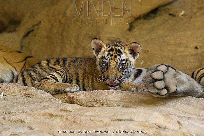 Bengal Tiger (Panthera tigris tigris) six week old cub at den, Bandhavgarh National Park, India  -  Suzi Eszterhas