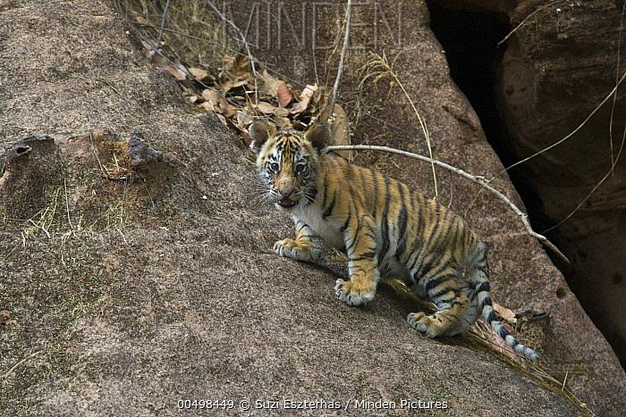 Bengal Tiger (Panthera tigris tigris) seven week old cub at den, Bandhavgarh National Park, India  -  Suzi Eszterhas
