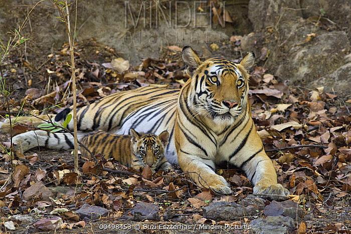 Bengal Tiger (Panthera tigris tigris) mother and eight week old cub at den, Bandhavgarh National Park, India  -  Suzi Eszterhas