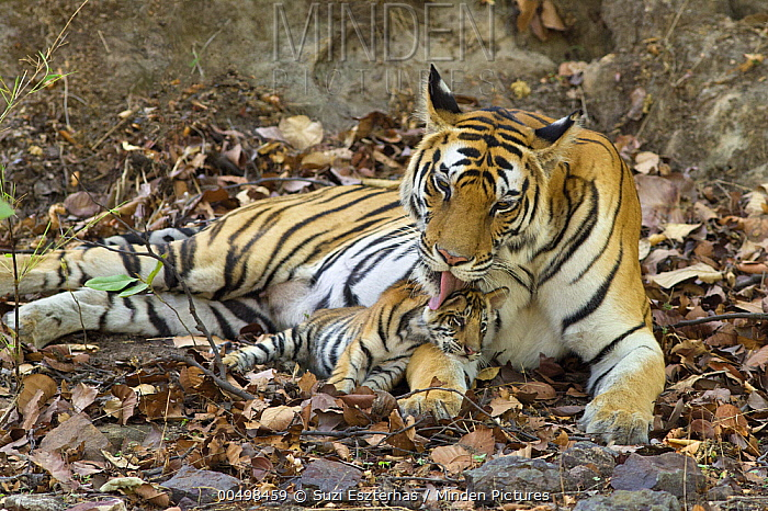 Bengal Tiger (Panthera tigris tigris) mother grooming eight week old cub at den, Bandhavgarh National Park, India  -  Suzi Eszterhas