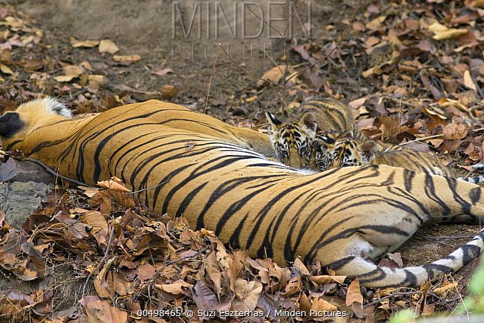 Bengal Tiger (Panthera tigris tigris) eight week old cubs suckling, Bandhavgarh National Park, India  -  Suzi Eszterhas