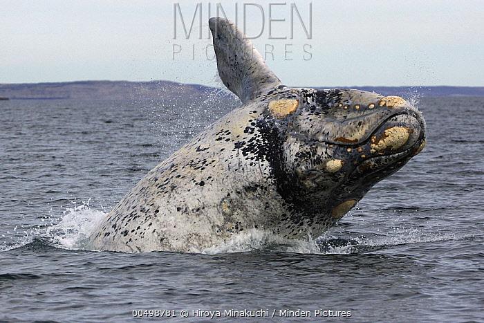 Southern Right Whale (Eubalaena australis) white morph breaching, Valdes Peninsula, Argentina  -  Hiroya Minakuchi