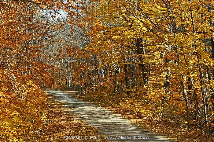 American Beech (Fagus grandifolia) trees along road in autumn, Baxter State Park, Maine  -  Scott Leslie