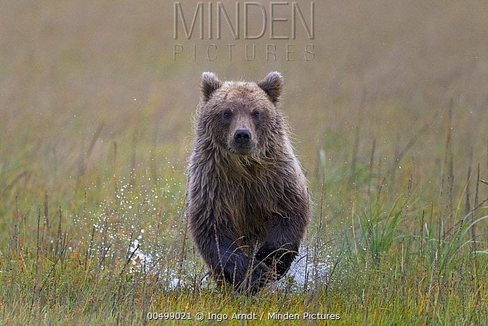 Grizzly Bear (Ursus arctos horribilis) cub running through shallow water, Lake Clark National Park, Alaska  -  Ingo Arndt