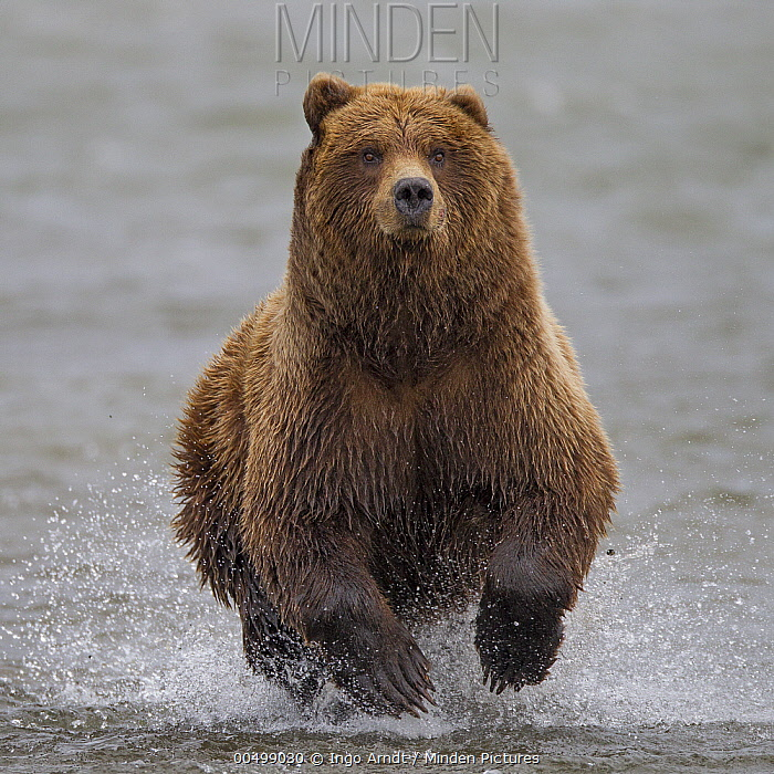 Grizzly Bear (Ursus arctos horribilis) chasing salmon, Lake Clark National Park, Alaska  -  Ingo Arndt