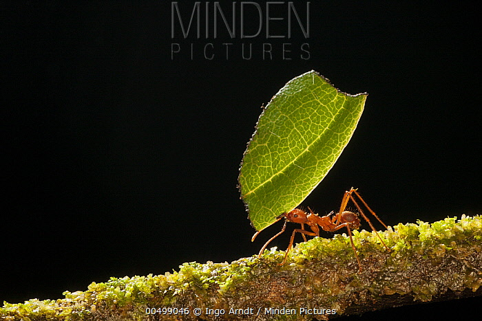 Leafcutter Ant (Atta sp) carrying section of leaf to be used for cultivating nutritious fungi, Costa Rica  -  Ingo Arndt