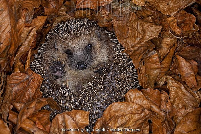 Brown-breasted Hedgehog (Erinaceus europaeus) hibernating in leaves, Germany  -  Ingo Arndt