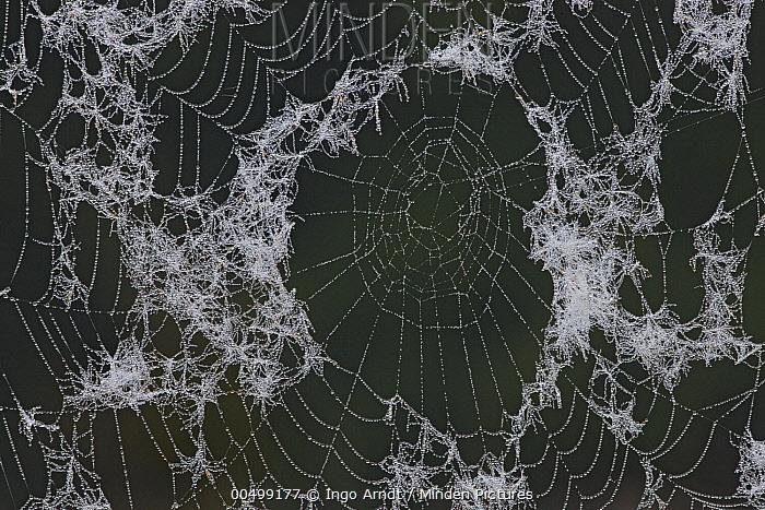 Autumn Spider (Metellina segmentata) web covered with dew drops, Germany  -  Ingo Arndt