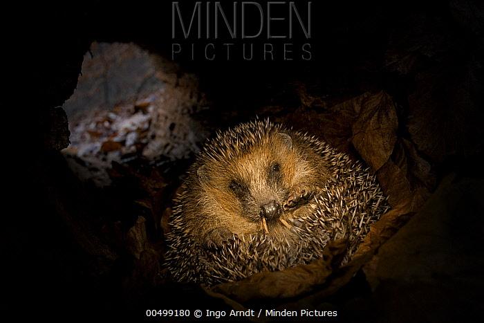 Brown-breasted Hedgehog (Erinaceus europaeus) hibernating inside hollow fallen tree, Germany  -  Ingo Arndt