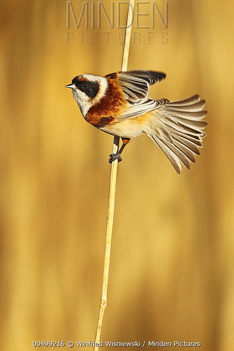 Eurasian Penduline-Tit (Remiz pendulinus) male on reed blade, Biebrza National Park, Poland  -  Winfried Wisniewski