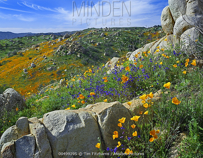 California Poppy (Eschscholzia californica) flowers in rocky grassland, Canyon Hills, Santa Ana Mountains, California  -  Tim Fitzharris